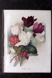 Wright C1900 Antique Botanical Print. Cyclamens (From Seeds)